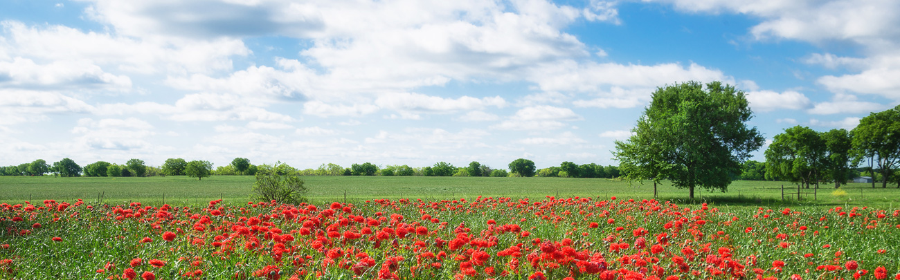 field of poppies in bloom