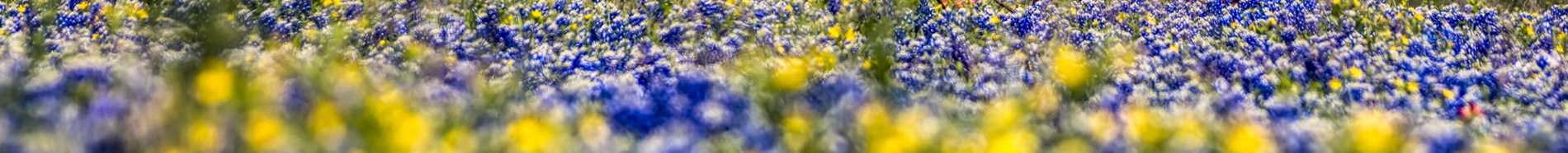 field of bluebonnets and pansies, foreground out of focus